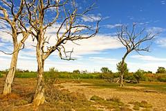 aspects of lagoon creek (Fat Burns  (on/off)) Tags: trees creek landscape bullrushes deadtrees barcaldine lagooncreek nikond800 nikon240700mmf28