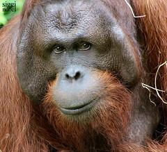 Sabas (siggi nobel) Tags: zoo rostock orang utan sabas darwineum