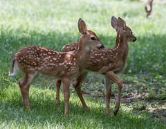 White Tail Fawns (jerryherman1) Tags: whitetail fawns wildlife maryland bowie