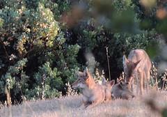 Princess Mary- Prince George 6 Pups2 (FluffyPuppiesMosaics) Tags: ca dogs wildlife redding turtlebay coyotes sundialbridge coyotepups tracihallstrom pupsplaying coyotepack fluffypuppiesmosaics riverknolls riverknollscondos