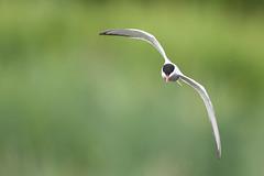 Common Tern in flight (skees499 ) Tags: nature nikon birding natuur alblasserwaard vogel d500 bif sternahirundo visdief keesmolenaar