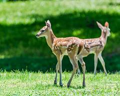 Polka & Dot (NBTXN) Tags: texas deer polkadots spots fawn freckles cuteness polkadot whitetail whitetaildeer babydeer selmaparkestates