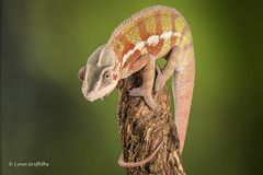 Ambilobe Panther Chameleon D75_2790.jpg (Mobile Lynn) Tags: england nature unitedkingdom ngc npc gb captive bournemouth reptiles watermarked greatphotographer coth specanimal ambilobepantherchameleon coth5 sunrays5