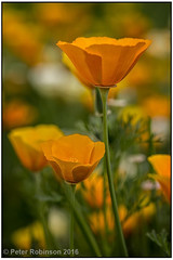 Californian Poppy (Antirrhinum) Tags: flowers orange kewgardens flower yellow flora poppy californianpoppy