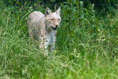 Lynx 2016-06-23-0315 (bzd1) Tags: animals cats lynx roofdieren eurasianlynx nature animal mammal carnivore felidae