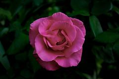 Rose (betadecay2000) Tags: plants plant flower green outdoor pflanze rosen grn beet blume rosebush rosengarten dornen dorn schrfentiefe beete blhen bltenblatt rosenstrauch heiter zierpflanze rosenbusch