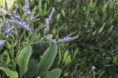 Limonium humile (Rense Haveman) Tags: coast vlieland saltmarsh halophyte vliehors limoniumhumile puccinellionmaritimae astereteatripolii pentaxk5 rensehaveman