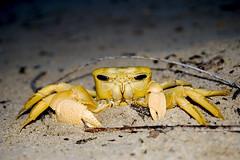 Crab (Macr1) Tags: animal fauna sand cloudy outdoor crab australia location cameras wa 5100 crustacean westernaustralia default lenses conditions gardenisland markmcintosh selp1650 macr237gmailcom sonyepz1650mmf3556oss markmcintosh ilce5100 sonyilce5100 sony5100 61403327236