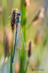 Libelle im Morgentau (anton_zach) Tags: macro natur makro libelle morgentau libellen