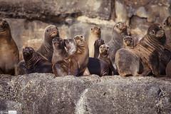 Lobos en Chlio (cristianaqua) Tags: chile naturaleza explorer natura explore lobos chiloe chilo marinos explorar metalqui