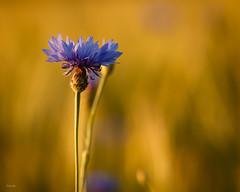 Die blaue Schönheit - ein Blick ins Kornfeld (Dieter Gora) Tags: kornblume centaureacyanus blüte bluebeauty fantasticflower