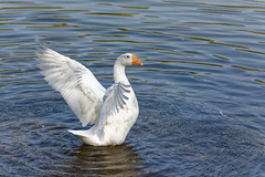 Swan (slyronit) Tags: park brazil water waves sopaulo feathers ibirapuera