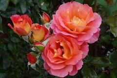Sommertraum (Gartenzauber) Tags: doublefantasy floralfantasy