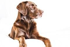 (adamdoffiniphotography) Tags: portrait dog cute home boston puppy labrador sony mydog sonyalpha a6000