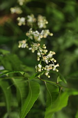 neem (margosa tree) explore (DOLCEVITALUX) Tags: flowers flower fauna flora philippines neem medicinalplants margosatree neemtree divinetree