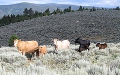 Cows of Many Colors.  Montana (montanatom1950) Tags: cows cattle scenery scenic montana suzuki dl650 vstrom motorcycletouring