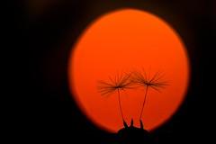 dark dandelion (SonjaS.) Tags: red black rot sunrise dark sonnenuntergang nacht dandelion makro sonne schwarz dunkel pusteblume canon6d