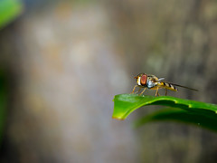 Zweefvliegje (Omroep Zeeland) Tags: macro zweefvlieg