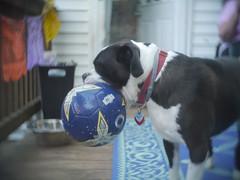 Big Mouth (nikkorexf) Tags: dog mouth big bigmouth soccer bulldog american bully soccerball swirly kinic