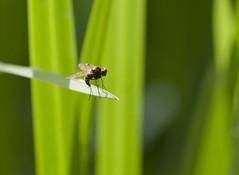 Bug No.2! (kevinwolves) Tags: bug insect fly kevinwolves macro closeup nikon nikond300 nikkor105mmf4 nature wildlife