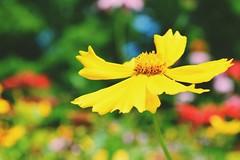 """YELLOW DRESS"" (buddah610) Tags: flowerpower yellow bokehlicious nikond3300 colorexplosion nature summer"