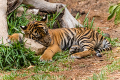Not quite a pillow, but it will have to do! (ToddLahman) Tags: baby cat canon outdoors teddy tiger nelson pillow tigers sumatrantiger joanne safaripark canon100400 tigercub babytiger tigertrail rockpillow sandiegozoosafaripark babysumatrantiger canon7dmkii