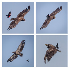 Remarkable Courage (tresed47) Tags: 2016 201607jul 20160712bombayhookbirds birds blackbird bombayhook canon7d content delaware eagle folder mosaic peterscamera petersphotos places redwingblackbird takenby technical us