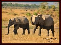 PAIR OF AFRICAN ELEPHANTS (Loxodonta africana)....MASAI MARA....OCT 2015 (M Z Malik) Tags: africa nikon kenya wildlife ngc safari elephants masaimara maraserena d3x transmara exoticafricanwildlife 200400mm14afs