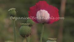 Danish Flag Papaver Somniferum Opium POPPY Pods n Flowers by- OrganicalBotanicals_Com 4 (gjaypub) Tags: flowers plants nature silhouette photography pod photos gardening bees seed seeds poppy poppies growing opium pods cultivation papaver somniferum morphine cultivating papaversomniferum 2016 potency poppyhead alkaloids organicalbotanicals