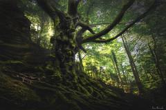 Perpetual (je550) Tags: tree verde green arbol nikon foliage filter bosque catalunya filters tamron tronco tarragona haya d800 fageda raices retaule tamron1530