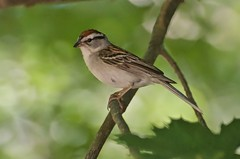 Chipping Sparrow (jerryam2) Tags: sparrow chipping