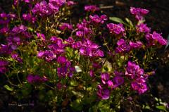 Spring (ChemiQ81) Tags: flower spring poland polska polish polen polonia jaro pologne wiosna kwiat 2016  polsko  puola plland lenkija pollando   poola poljska polija pholainn     chemiq polanya lengyelorszgban