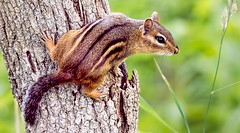 Stripes (Wes Iversen) Tags: trees nature animals brighton bokeh michigan milford mammals chipmunks kensingtonmetropark tamron150600mm