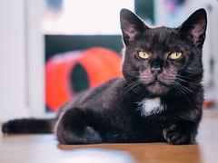 P1014253 (BalthasarLeopold) Tags: pet cats pets animal animals cat blackcat mammal kitten feline dof kittens felines blackcats indoorcat dephtoffield