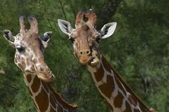 Girafes (Michel Seguret Thanks all for 8.400 000 views) Tags: park wild france animal animals nikon reserve pro giraffe animaux aude parc tier girafa giraffa girafe d800 afrique sauvage africaine jirafa sigean michelseguret