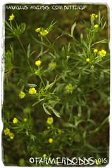 Ranunculus arvensis 'Corn Buttercup' (farmer dodds) Tags: corn buttercup ranunculus wildflower rare ranunculaceae oxfordshire ranunculusarvensis cornbuttercup