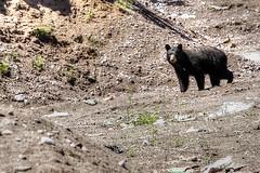 Wish I was able to watch this bear (Cindy's Here) Tags: bear ontario canada canon blackbear thedump beautifulcreature ansh naturevshuman shuniah scavenger8