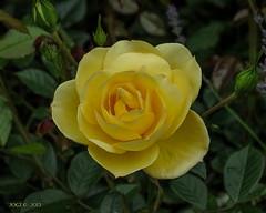 Kreischa, Kurpark, Rose (joergpeterjunk) Tags: kreischa kurpark outdoor rose pflanze blume blte macro makro canonpowershotsx40 bridgekamera