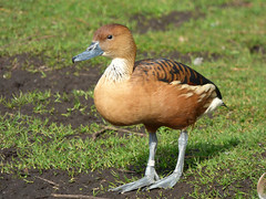 Fulvous Whistling-duck (Peanut1371) Tags: duck captive martinmere fulvouswhistlingduck