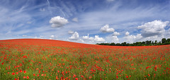 A505 Poppies 11 (Photograferry) Tags: flowers red panorama nature horizontal clouds rural landscape outside nopeople panoramic poppies wildflowers colourful hertfordshire royston