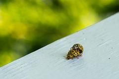 Nyckeelpigor-2 (marcusholmqvist) Tags: macro yellow insect bugs ladybug mating ladybugs makro upclose insekt gul gula nrbild insekter kryp