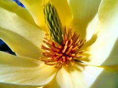 Magnolia flower (duaneschermerhorn) Tags: orange flower macro green colors yellow closeup petals colorful stamen