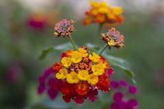 _MG_1628 (Arthur Pontes) Tags: parque flores flower verde green primavera nature spring natureza small flor pequeno colorido
