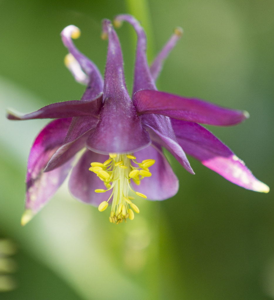 The worlds best photos of akleja and flower flickr hive mind aquilegia vulgaris h lundberg photography tags flower plant summer outdoor aquilegia vulgaris akleja izmirmasajfo Image collections