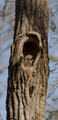 barred owl (aaronrgreene) Tags: owl barred