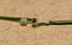 Speckled Wood (Pararge aegeria) caterpillar, first instar and freshly hatched (Deanster1983) Tags: macro nature insect photo caterpillar larva speckledwood parargeaegeria