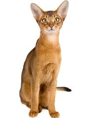 Abyssinian cat over white background (pretty,strange) Tags: red portrait pet white cute animal standing cat fur eyes kitten feline pretty play expression background tail adorable kitty whiskers domestic claw purr shorthair curious abyssinian veterinarian household puss playful isolated pedigree lovable purebred redhaired pedigreed