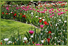 Tulip festival in Antwerp Botanical garden (jackfre2 (on a trip-voyage-reis-reise)) Tags: flowers garden colours tulips belgium antwerp botanicalgarden leopoldstraat mygearandme mygearandmepremium mygearandmebronze mygearandmesilver mygearandmegold mygearandmeplatinum rememberthatmomentlevel1 vigilantphotographersunite vpu2 vpu3 vpu4
