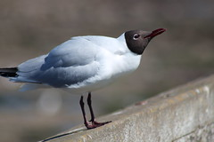Black Headed Gull (Hairy Caterpillar) Tags: sea bird seagull gull blackheaded
