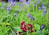 Wildflower meadow. (Stephen Whittaker) Tags: flowers bluebells nikon dof pov meadow dandelion d5100 whitto27